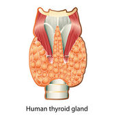 Human thyroid gland — Stock Vector