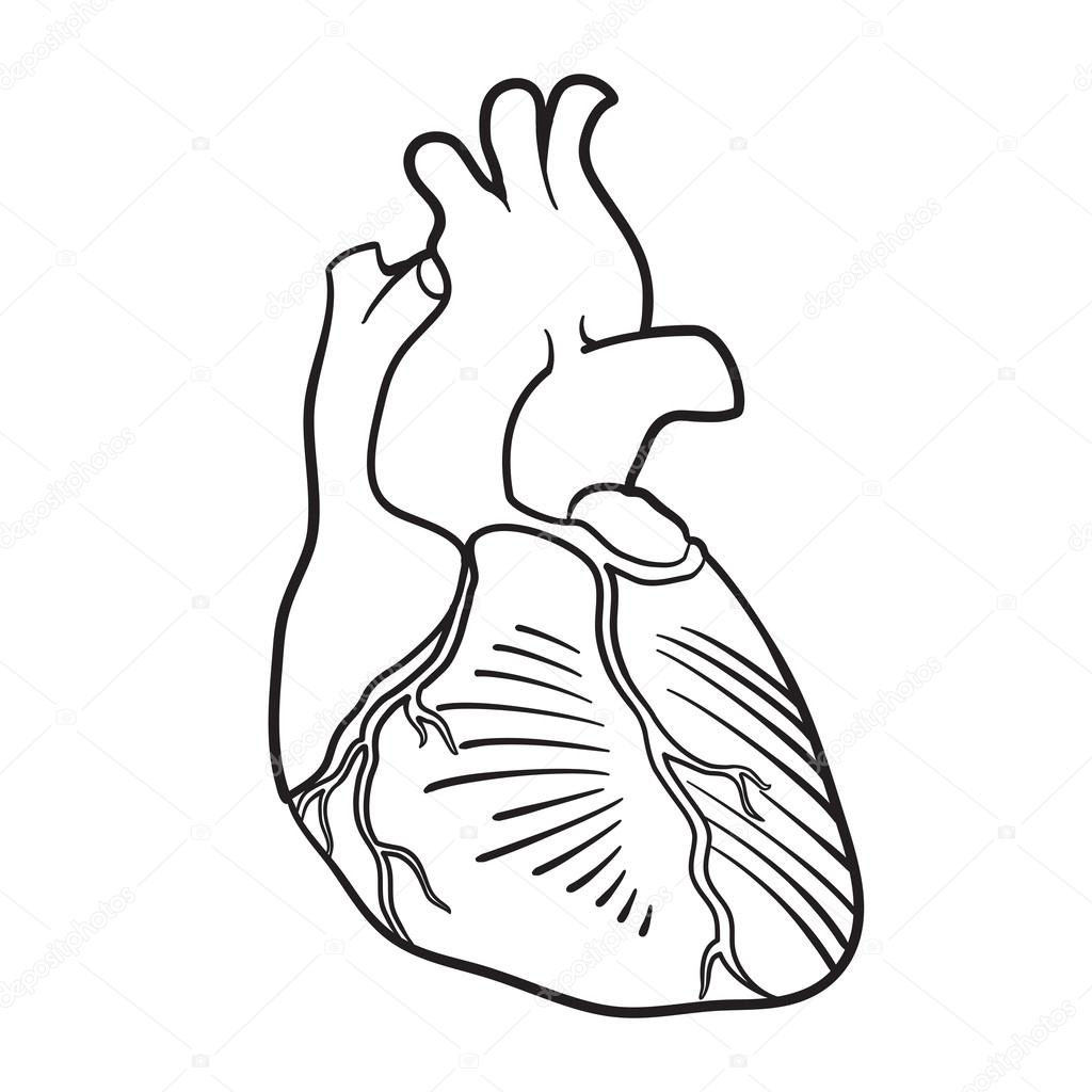 suggestions online images of human heart coloring pages