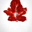 Stock Photo: Watercolor of red leaf