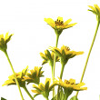 Beautiful yellow flowers isolated on white background — Stock Photo