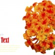 Beautiful flower (Lantana camara) isolated on white background. — Φωτογραφία Αρχείου