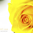 Close up of beautiful yellow rose flower. — Stock Photo #19505449