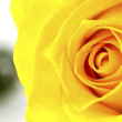 Stock Photo: Close up of beautiful yellow rose flower.