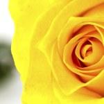 Close up of beautiful yellow rose flower. — Stock Photo