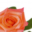 Close up of beautiful orange rose flower. — Stock Photo