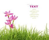 Vackra rosa blommor och färska våren gröna gräs isolerad på — Stockfoto