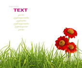 Vackra röda zinnia blommor och färska våren grönt gräs isolat — Stockfoto