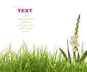 Beautiful White Gladiolus and fresh spring green grass isolated — Stock Photo