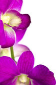 Beautiful purple flower (Orchid) isolated on white background — Stockfoto