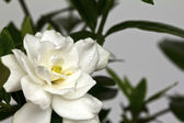 Beautiful White Flower (Gerdenia Crape Jasmine) — Foto Stock