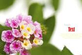 Beautiful flower (Lantana camara) isolated on white background. — Stock Photo