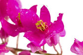 Beautiful pink flower of small weed isolated on white background — Stock Photo