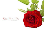 Red rose isolated on white background with copy space. . — Stock Photo