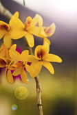 Beautiful yellow flower (Orchid) isolated on white background — Stock Photo