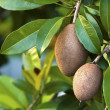 Sapodilla, tropical fruit. — Stock Photo