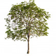 Beautifull green tree isolated on a white background — Stock Photo