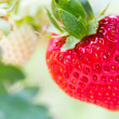 Strawberry Field — Stock Photo #38581503