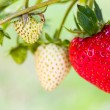 Strawberry Field — Stock Photo