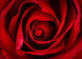 Beautiful close up of red rose — Stock Photo