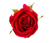 Beautiful red rose isolated on white background — Stock Photo