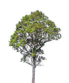 Tree isolated on white with clipping path — Stock Photo