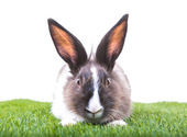 Rabbit in green grass on white background — Stock Photo