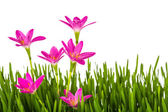 Beautiful pink flowers and fresh spring green grass isolated on  — Stock Photo
