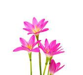 美丽的粉红色花朵,孤立的白色背景上 — 图库照片