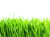 Fresh green wheat grass isolated on white background — Stock Photo