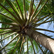 Close up detail of a tropical coconut palm tree variety found in — Stock Photo