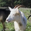 Stock Photo: Nanny-goat