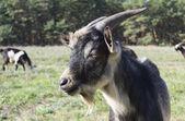 He-goat — Stock Photo