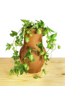 Hops in a pot — Stock Photo