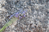 A closeup of a lavender on a stone — Stock Photo