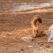 Red squirrel on ground — Stock Photo #15456799