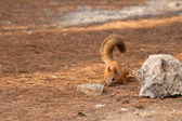 Red squirrel on a ground — Stock Photo