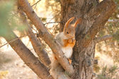 Red squirrel on a branch of pine tree — Stock Photo
