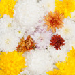 Stock Photo: Open multicolored chrysanthemum close up