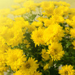 Stock Photo: Open yellow chrysanthemum close up
