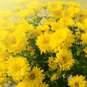 Open yellow chrysanthemum close up — Stock Photo