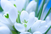 Background of macro snowdrop flowers — Stock Photo