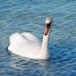 White swan is floating  — Stock Photo