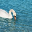 Royalty-Free Stock Photo: White swan is floating