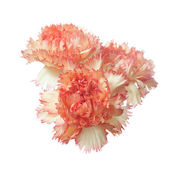Red carnation flower heads isolated — Stock Photo