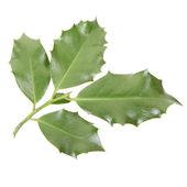 Holly twig on white — Stock Photo