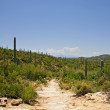 Giant Saguaro Cactus Landscape , Saguaro National Park, Sonoran — Stock Photo