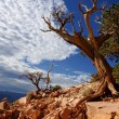 Dead tree - Grand canyon, Arizona USA — Stock Photo