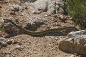 Northern pacific rattlesnake (Crotalus molossus) in Arizona - US — Stock Photo