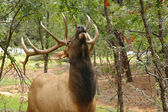 Wapiti Elk (Cervus elaphus) against in the Grand Canyon - Arizon — Stock Photo