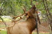 Wapiti Elk ((Cervus elaphus)) against in the Grand Canyon - Ariz — Stock Photo